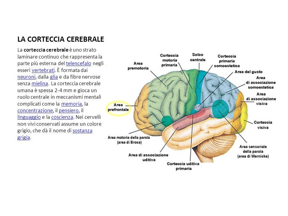 LA CORTECCIA CEREBRALE La corteccia cerebrale è uno strato laminare continuo che rappresenta la parte più esterna del telencefalo negli esseri vertebr