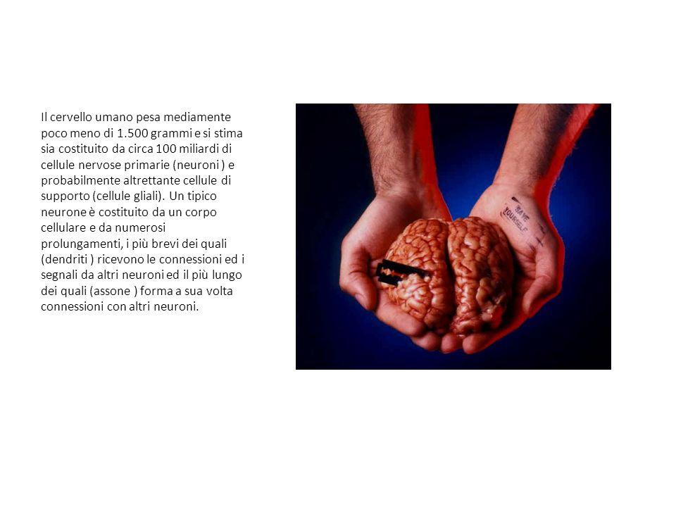 Il cervello umano pesa mediamente poco meno di 1.500 grammi e si stima sia costituito da circa 100 miliardi di cellule nervose primarie (neuroni ) e probabilmente altrettante cellule di supporto (cellule gliali).