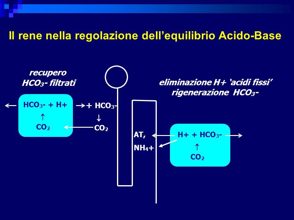 Il rene nella regolazione dellequilibrio Acido-Base HCO 3 - + H+ CO 2 + HCO 3 - CO 2 H+ + HCO 3 - CO 2 AT, NH 4 + recupero HCO 3 - filtrati eliminazio