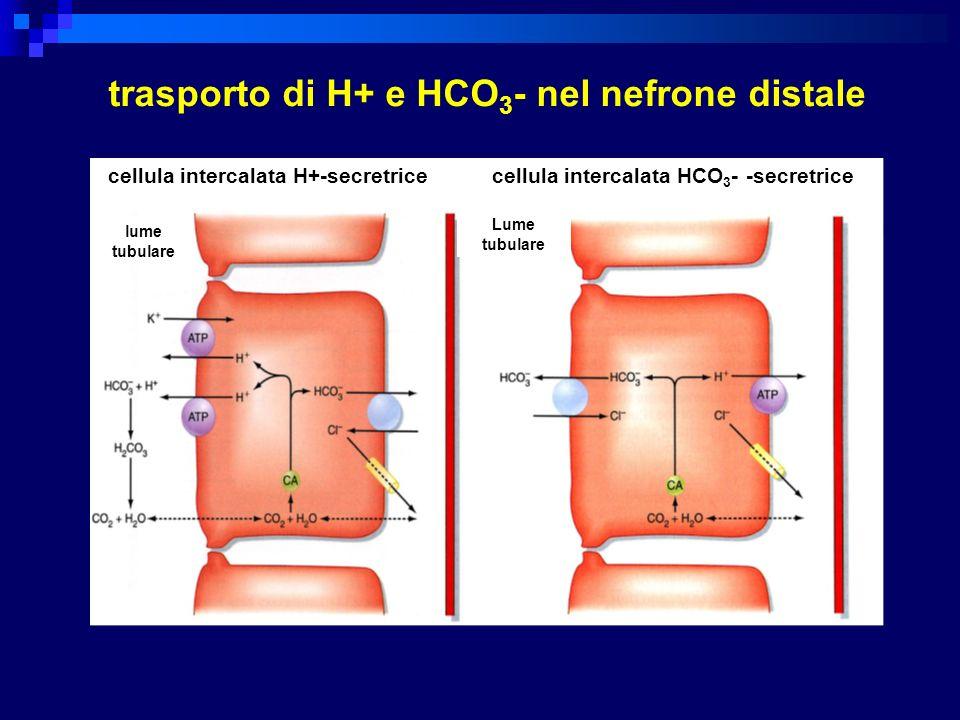 cellula intercalata H+-secretricecellula intercalata HCO 3 - -secretrice lume tubulare Lume tubulare trasporto di H+ e HCO 3 - nel nefrone distale