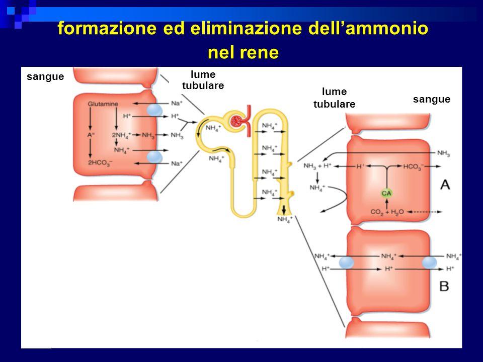 sangue lume tubulare lume tubulare sangue formazione ed eliminazione dellammonio nel rene