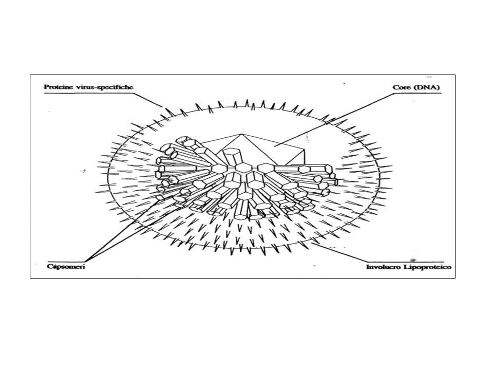 E T I O L O G I A HSV 1- HSV 2 - DNA a doppia catena - Capside con 162 capsomeri - Simmetria icosaedrica - Doppia membrana lipidica EPIDEMIOLOGIA Trasmissione interumana HSV1: secrezioni orali prevalenza: adulti 40 - 90% HVS2: secrezioni genitali prevalenza: omosessuali di sesso maschile 46% eterosessuali 26% prostitute 80% MALATTIE DA HERPES VIRUS MALATTIA ERPETICA UMANA