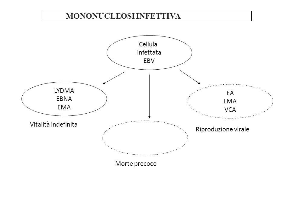 MONONUCLEOSI INFETTIVA Cellula infettata EBV LYDMA EBNA EMA EA LMA VCA Morte precoce Riproduzione virale Vitalità indefinita