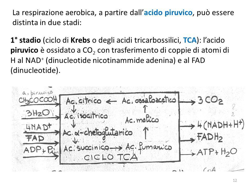 La respirazione aerobica, a partire dallacido piruvico, può essere distinta in due stadi: 1° stadio (ciclo di Krebs o degli acidi tricarbossilici, TCA