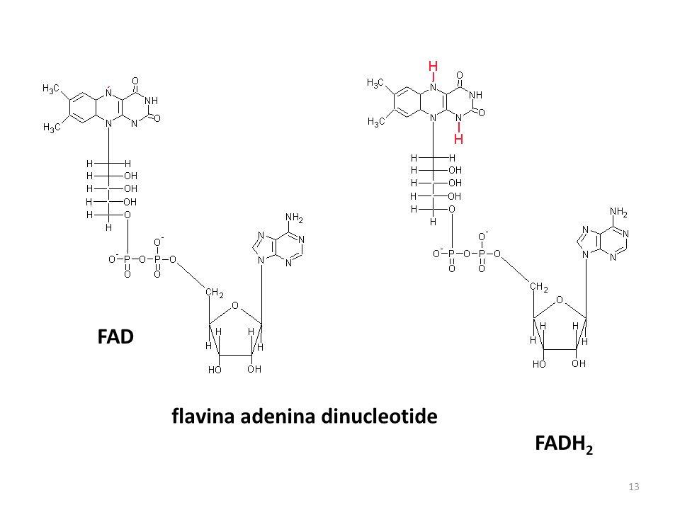 FAD FADH 2 flavina adenina dinucleotide 13