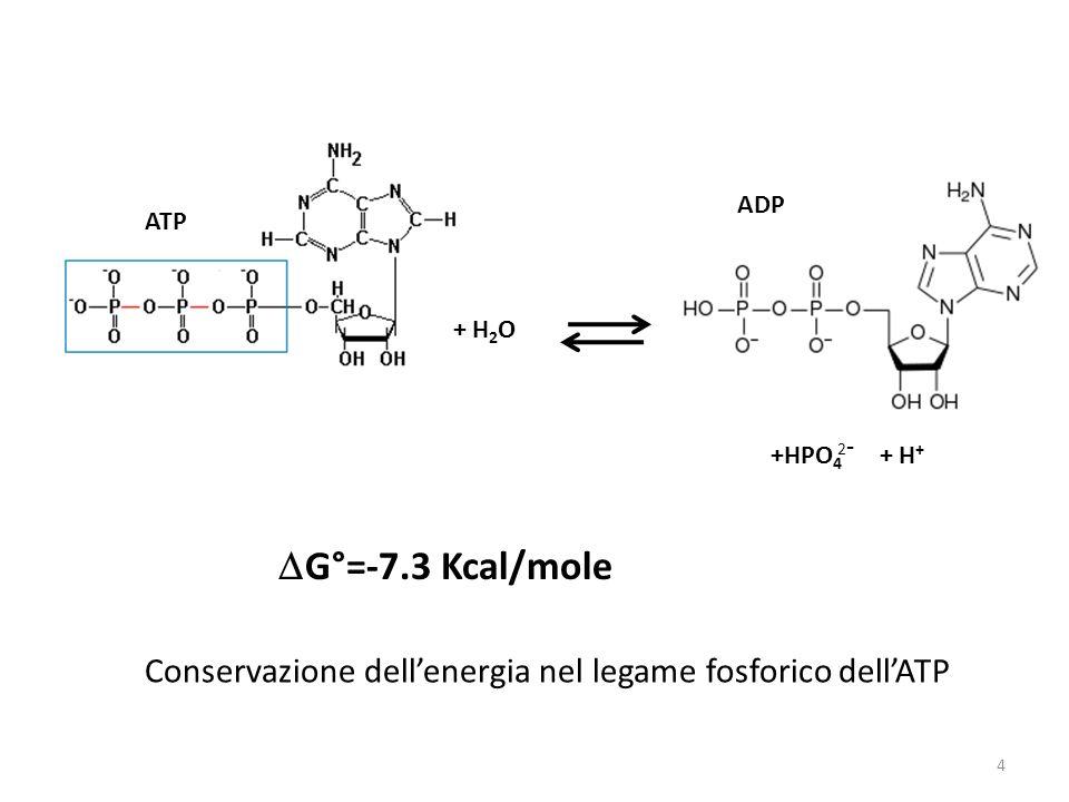 G°=-7.3 Kcal/mole Conservazione dellenergia nel legame fosforico dellATP + H 2 O ATP ADP +HPO 4 2-2- + H + 4