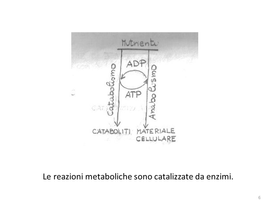 Le reazioni metaboliche sono catalizzate da enzimi. 6