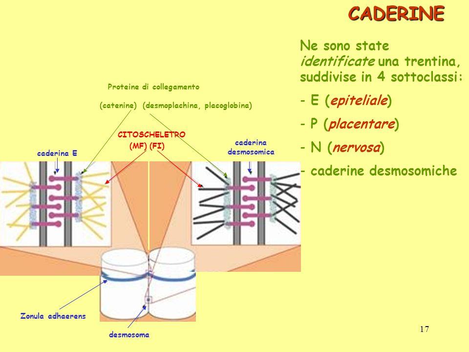CADERINE Ne sono state identificate una trentina, suddivise in 4 sottoclassi: - E (epiteliale) - P (placentare) - N (nervosa) - caderine desmosomiche
