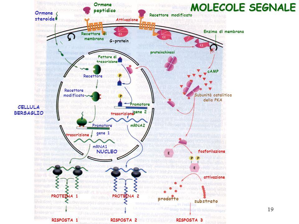 MOLECOLE SEGNALE Ormone steroide CELLULA BERSAGLIO NUCLEO Recettore Recettore modificato Promotore gene 1 trascrizione mRNA1 PROTEINA 1 RISPOSTA1 RISP