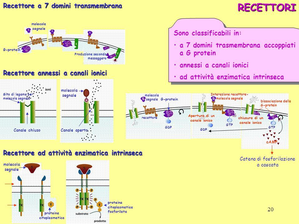 molecola segnale G-protein Produzione secondo messaggeroRECETTORI Sono classificabili in: a 7 domini trasmembrana accoppiati a G protein annessi a can