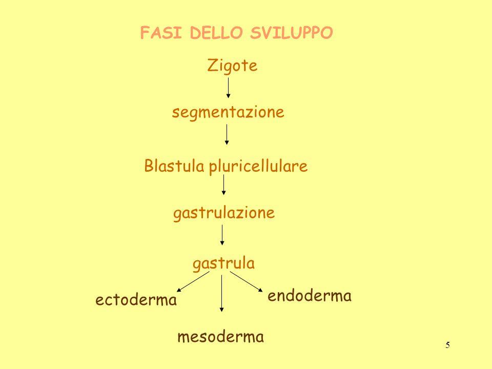 FASI DELLO SVILUPPO mesoderma Zigote segmentazione Blastula pluricellulare gastrulazione gastrula ectoderma endoderma 5