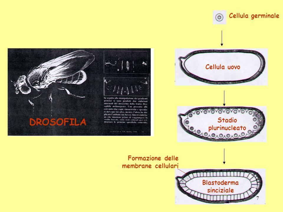 DROSOFILA Cellula uovo Cellula germinale Stadio plurinucleato Formazione delle membrane cellulari Blastoderma sinciziale 7