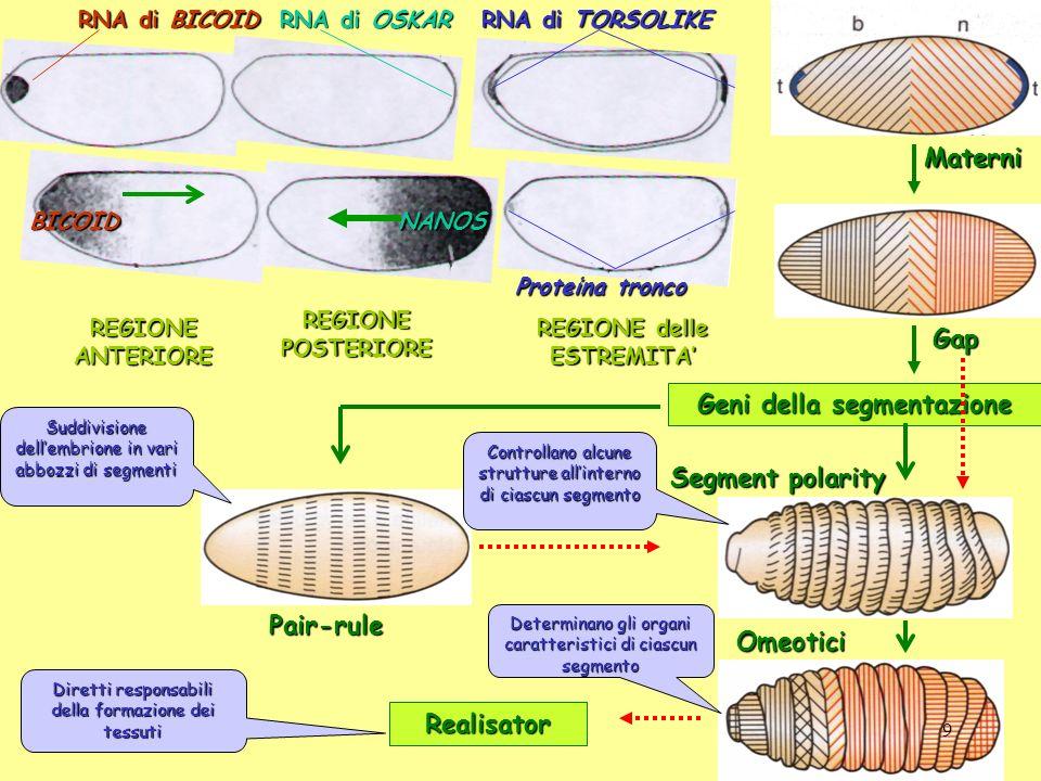 Materni RNA di BICOID BICOID REGIONE ANTERIORE RNA di OSKAR NANOS REGIONE POSTERIORE REGIONE delle ESTREMITA RNA di TORSOLIKE Proteina tronco Gap Geni