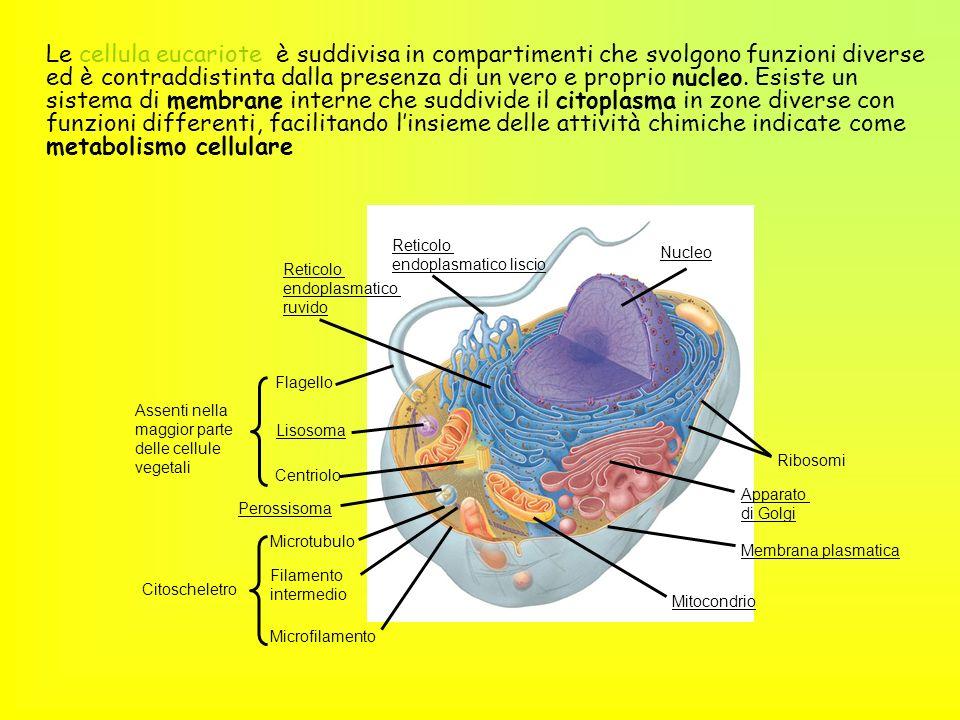 Le cellula eucariote è suddivisa in compartimenti che svolgono funzioni diverse ed è contraddistinta dalla presenza di un vero e proprio nucleo. Esist