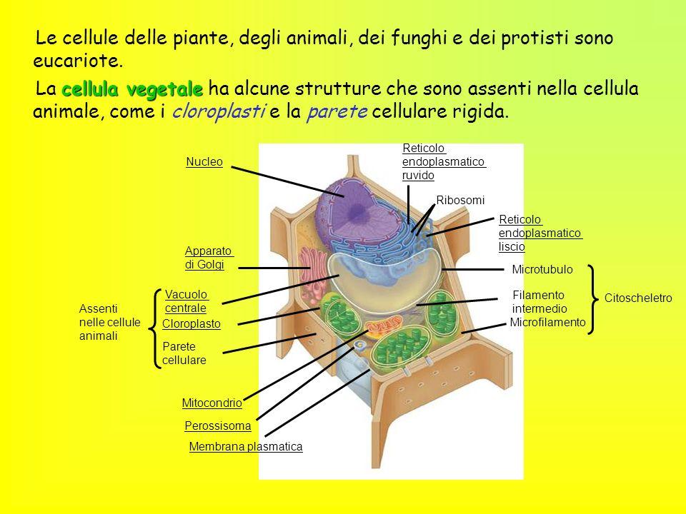 Le cellule delle piante, degli animali, dei funghi e dei protisti sono eucariote. cellula vegetale La cellula vegetale ha alcune strutture che sono as