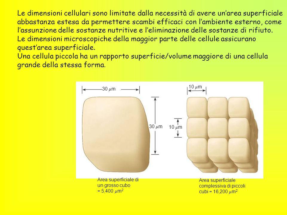 30 m 10 m 30 m 10 m Area superficiale di un grosso cubo 5,400 m 2 Area superficiale complessiva di piccoli cubi 16,200 m 2 Le dimensioni cellulari son