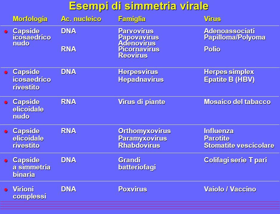 Esempi di simmetria virale MorfologiaAc. nucleicoFamigliaVirus MorfologiaAc. nucleicoFamigliaVirus l Capside DNAParvovirusAdenoassociati icosaedrico P
