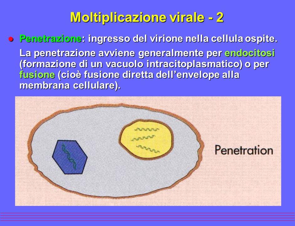 l Penetrazione: ingresso del virione nella cellula ospite. La penetrazione avviene generalmente per endocitosi (formazione di un vacuolo intracitoplas