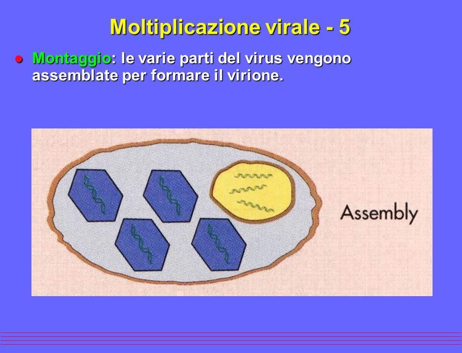 l Montaggio: le varie parti del virus vengono assemblate per formare il virione. Moltiplicazione virale - 5