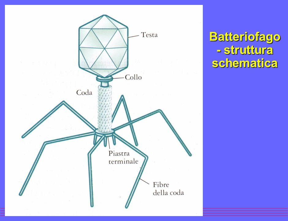 Batteriofago - struttura schematica