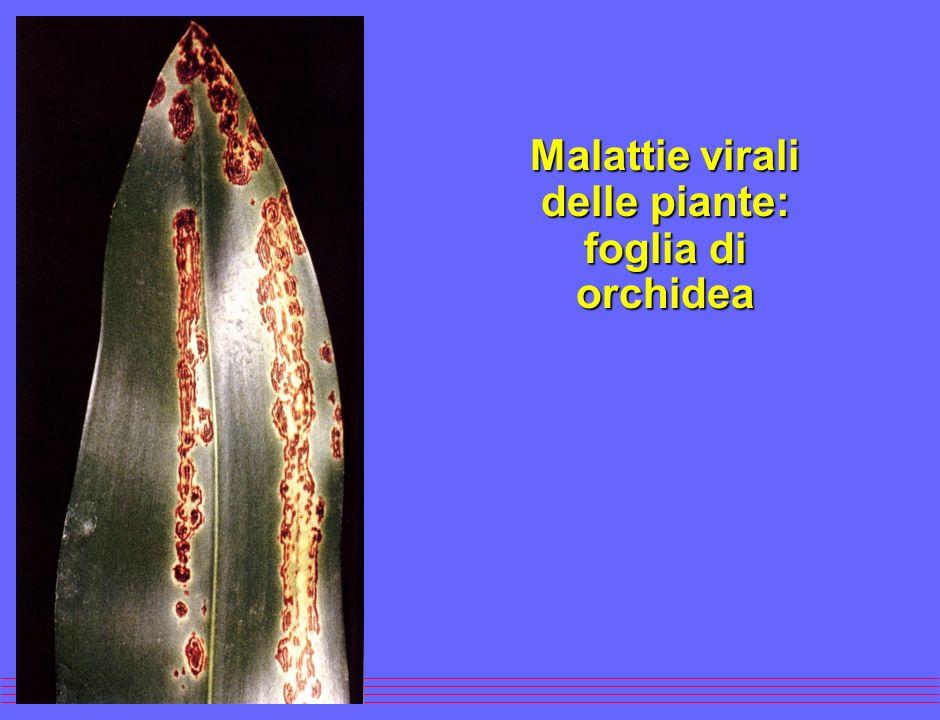 Malattie virali delle piante: foglia di Nicotiana tabacum