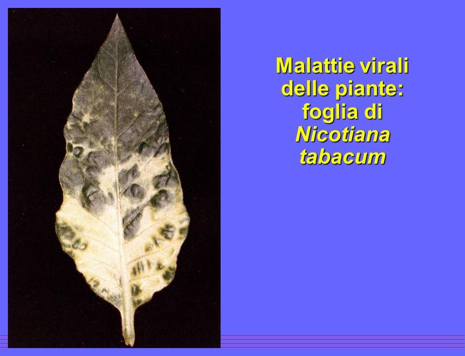 Malattie virali delle piante: foglia di Nicotiana glutinosa