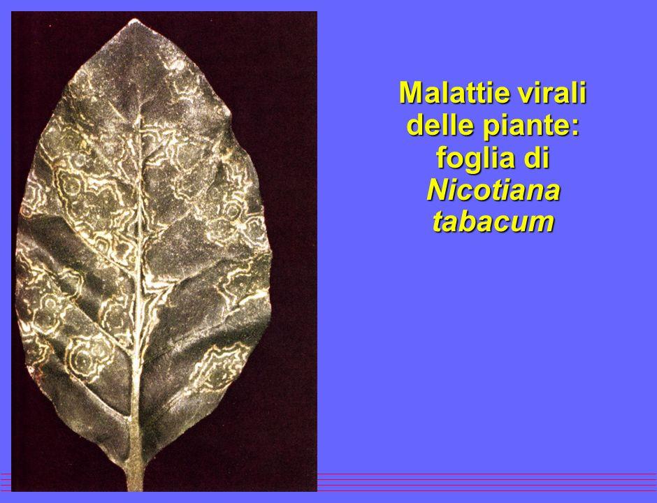 Virus a simmetria elicoidale (Mosaico del tabacco)