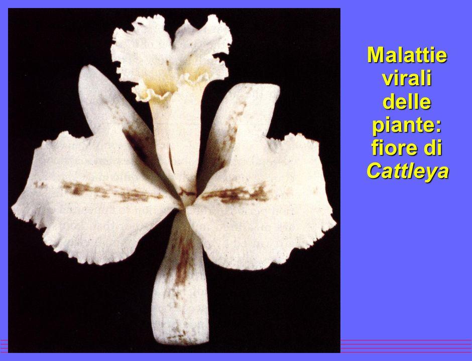 l Montaggio: le varie parti del virus vengono assemblate per formare il virione.