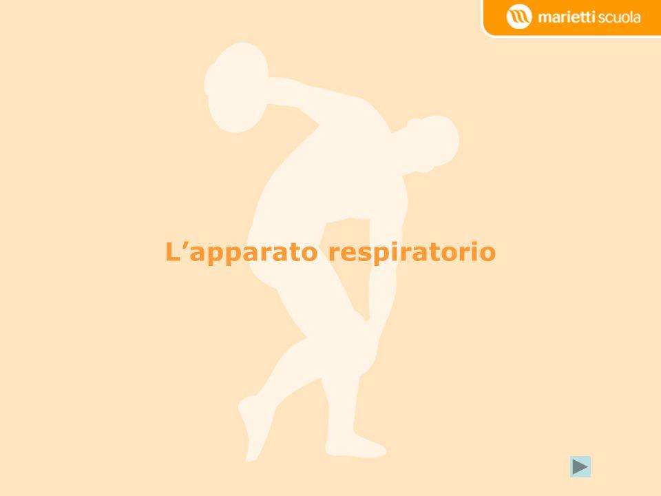 La ventilazione polmonare (o esterna) La diffusione Il trasporto dei gas La respirazione cellulare (o interna) Fasi della respirazione