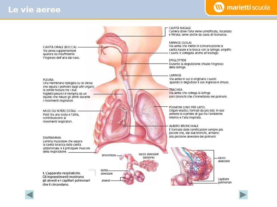 La ventilazione polmonare, che a riposo è circa 6/7 l/min, sotto sforzo arriva fino a 130 l/min nelle donne e 180 l/min negli uomini.