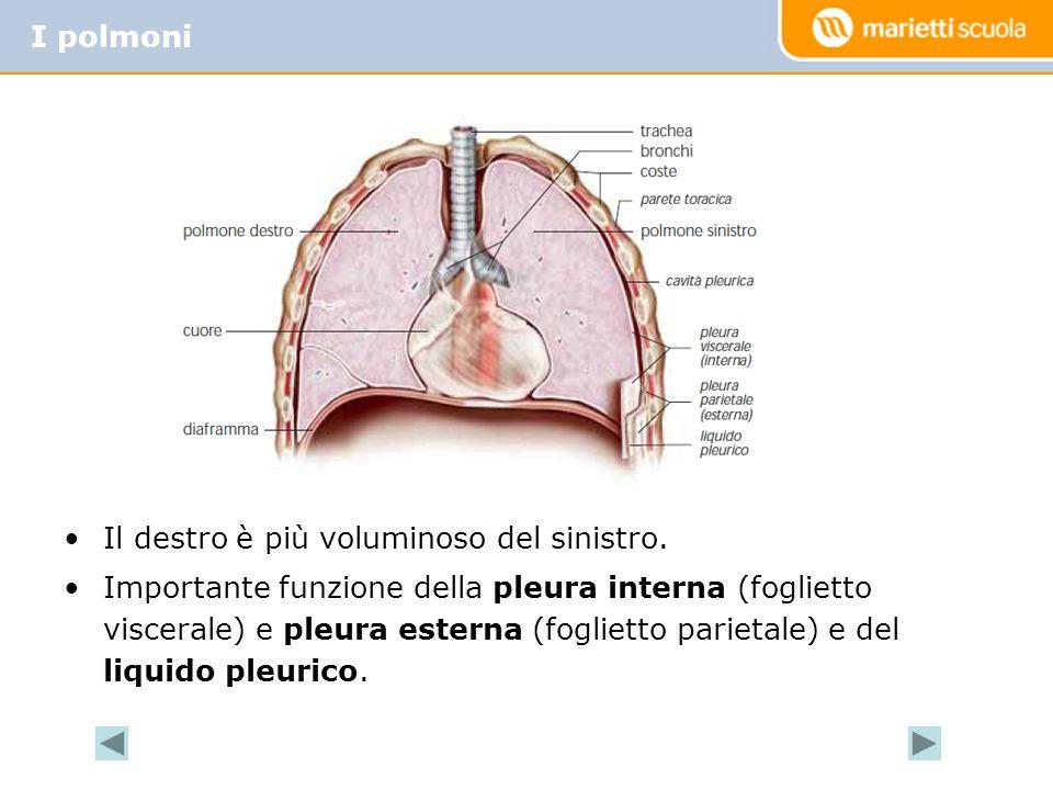 Il destro è più voluminoso del sinistro. Importante funzione della pleura interna (foglietto viscerale) e pleura esterna (foglietto parietale) e del l
