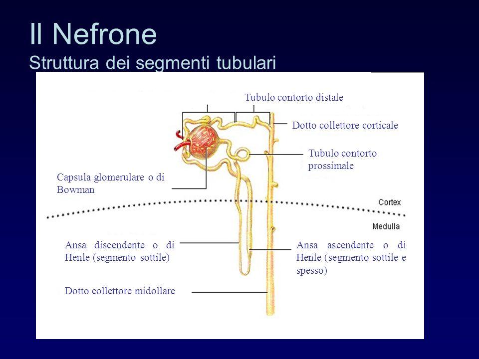Il Nefrone Struttura dei segmenti tubulari Tubulo contorto prossimale Ansa discendente o di Henle (segmento sottile) Ansa ascendente o di Henle (segmento sottile e spesso) Capsula glomerulare o di Bowman Dotto collettore midollare Dotto collettore corticale Tubulo contorto distale