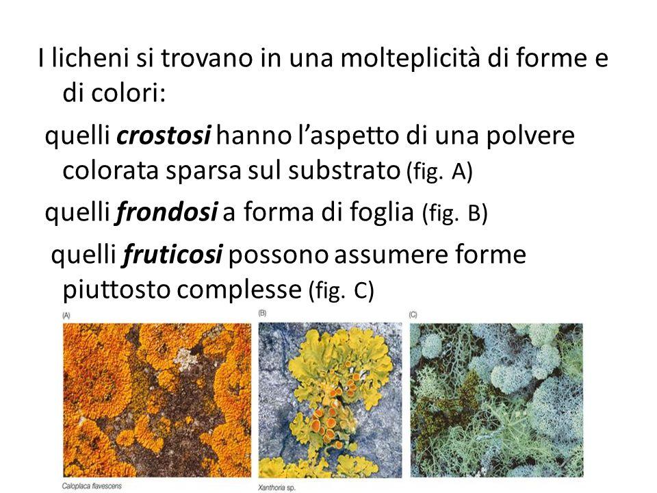I licheni si trovano in una molteplicità di forme e di colori: quelli crostosi hanno laspetto di una polvere colorata sparsa sul substrato (fig. A) qu