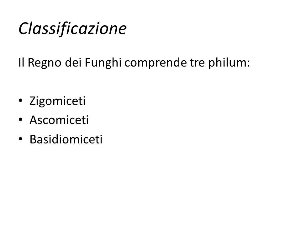 Classificazione Il Regno dei Funghi comprende tre philum: Zigomiceti Ascomiceti Basidiomiceti