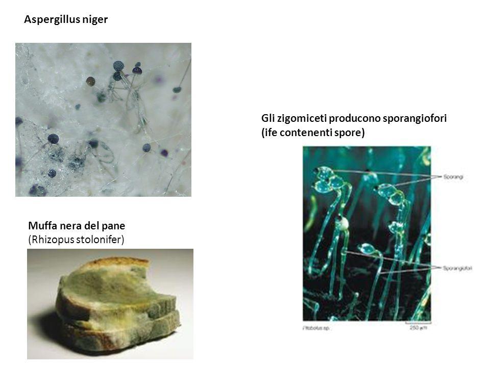 Aspergillus niger Muffa nera del pane (Rhizopus stolonifer) Gli zigomiceti producono sporangiofori (ife contenenti spore)