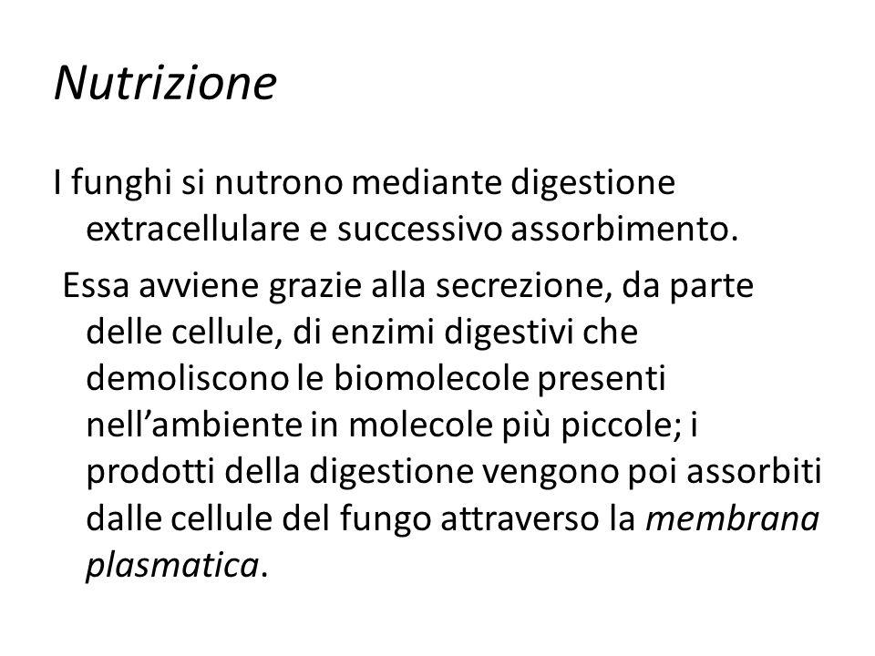 Nutrizione I funghi si nutrono mediante digestione extracellulare e successivo assorbimento. Essa avviene grazie alla secrezione, da parte delle cellu