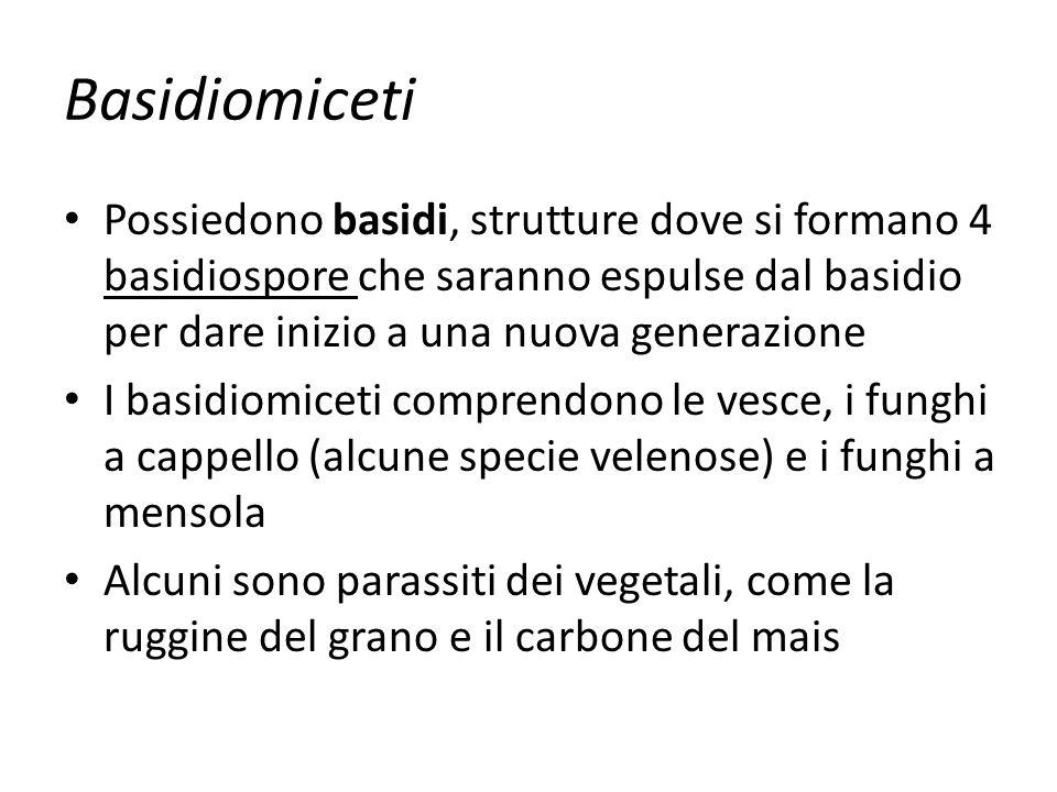 Basidiomiceti Possiedono basidi, strutture dove si formano 4 basidiospore che saranno espulse dal basidio per dare inizio a una nuova generazione I ba