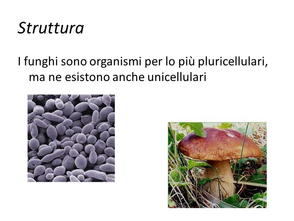 Struttura I funghi sono organismi per lo più pluricellulari, ma ne esistono anche unicellulari