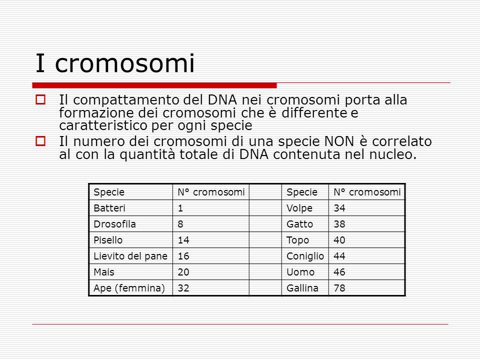 I cromosomi Il compattamento del DNA nei cromosomi porta alla formazione dei cromosomi che è differente e caratteristico per ogni specie Il numero dei