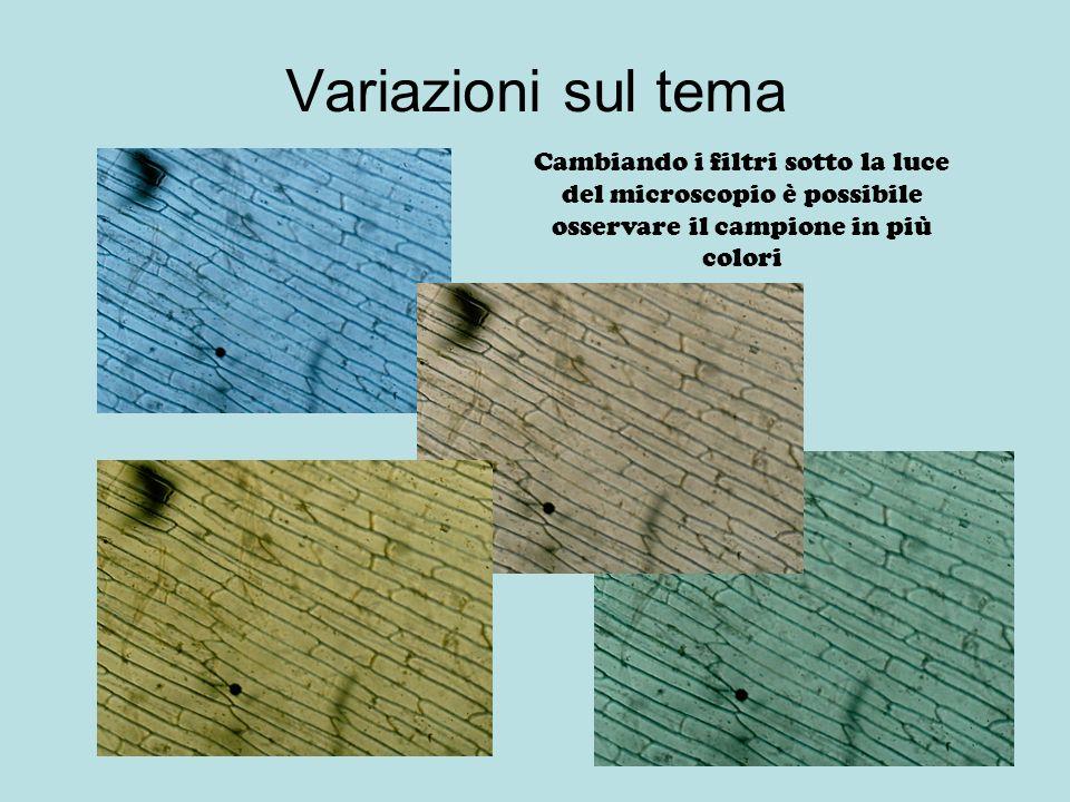 Colorazione del campione Per evidenziare meglio alcune strutture della cellula coloriamo il campione con il blu di metilene Posizioniamo una goccia di colorante sul campione e dopo 10 minuti lo sciacquiamo, per riosservarlo al microscopio