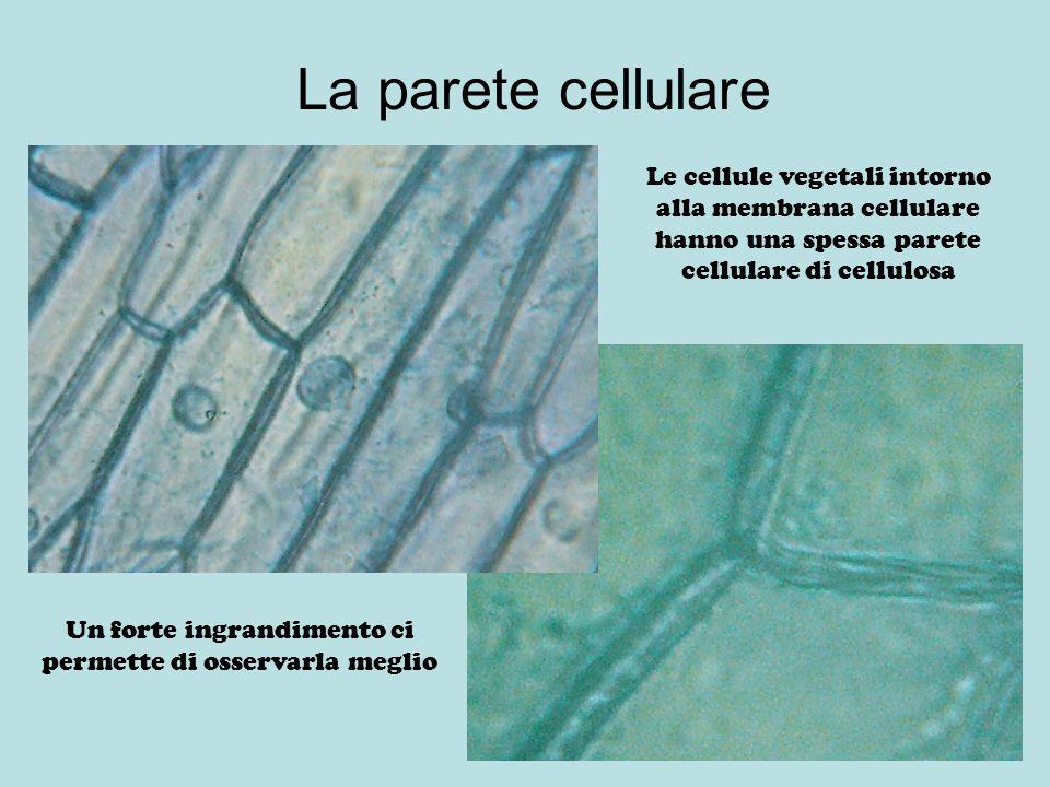 La parete cellulare Le cellule vegetali intorno alla membrana cellulare hanno una spessa parete cellulare di cellulosa Un forte ingrandimento ci perme