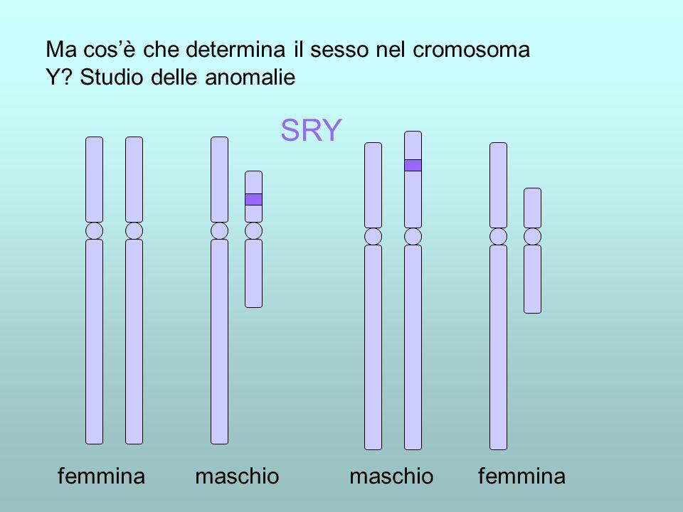femmina maschio maschio femmina Ma cosè che determina il sesso nel cromosoma Y? Studio delle anomalie SRY