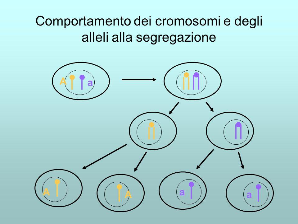 Comportamento dei cromosomi e degli alleli alla segregazione A A A a a a