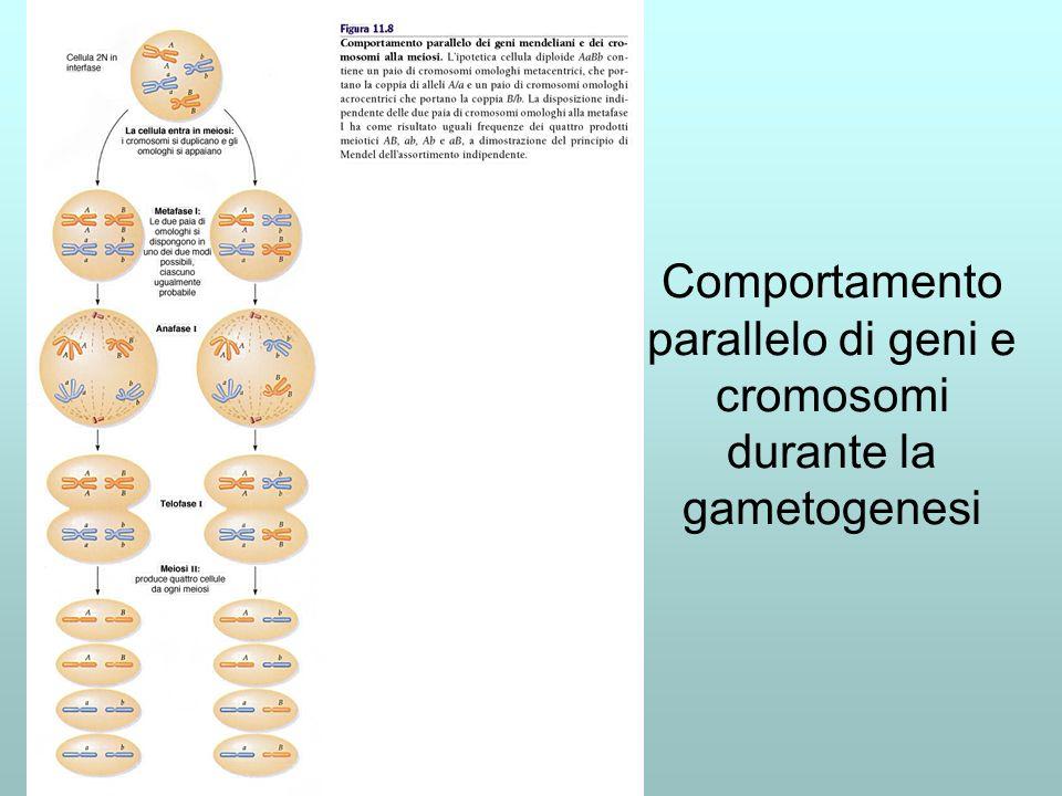 Obiezioni alla teoria cromosomica delleredità (Sutton-Boveri) I cromosomi scompaiono allinterfase e perciò sono importanti solo nella divisione cellulare No, basta saperli mettere in evidenza Le coppie di cromosomi sono uguali e perciò non possono portare alleli diversi No, gli esperimenti di Blakeslee sullo stramonio indicano che piante con cromosomi soprannumerari diversi hanno fenotipi diversi No, Drosophile di sesso diverso hanno cromosomi diversi Comportamento parallelo di geni e cromosomi