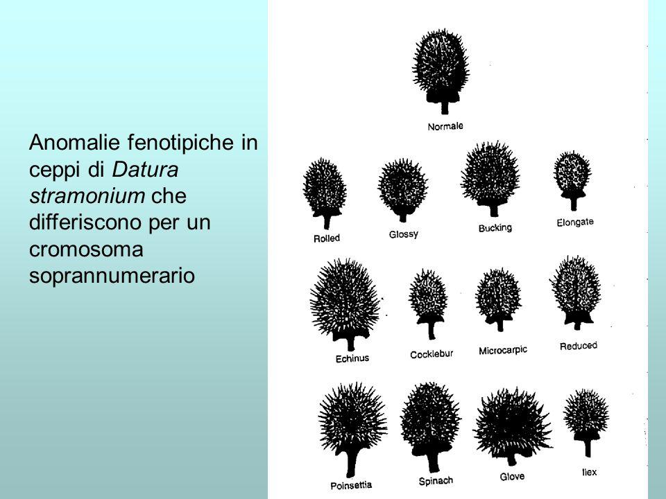 Anomalie del numero cromosomico in Drosophila È il rapporto fra numero di X e autosomi che determina il sesso