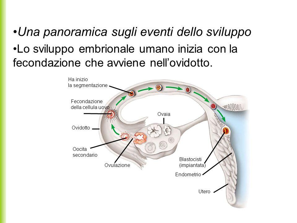 Una panoramica sugli eventi dello sviluppo Lo sviluppo embrionale umano inizia con la fecondazione che avviene nellovidotto. Ha inizio la segmentazion