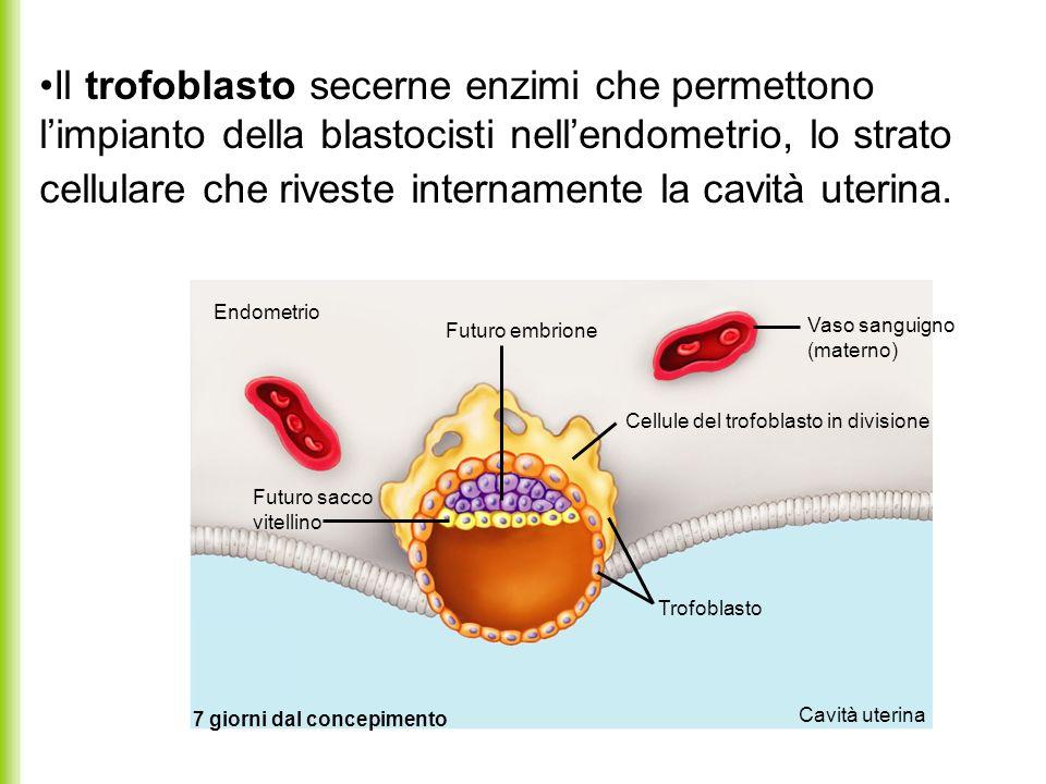 Il trofoblasto secerne enzimi che permettono limpianto della blastocisti nellendometrio, lo strato cellulare che riveste internamente la cavità uterin