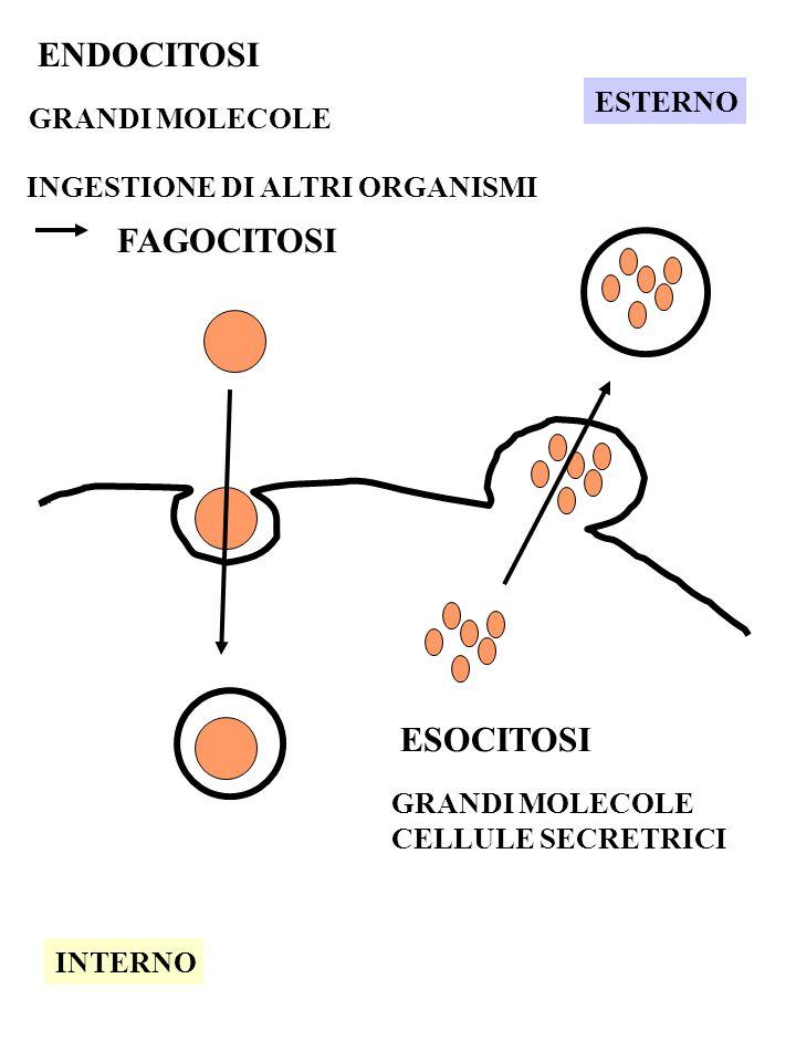 ENDOCITOSI GRANDI MOLECOLE INGESTIONE DI ALTRI ORGANISMI FAGOCITOSI ESTERNO INTERNO ESOCITOSI GRANDI MOLECOLE CELLULE SECRETRICI