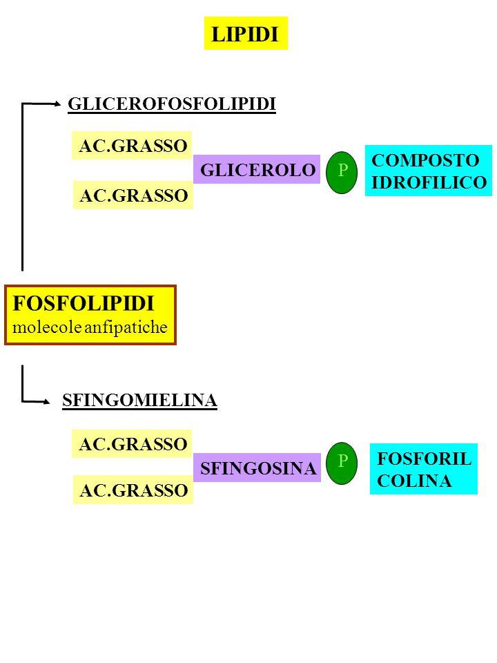 FOSFOLIPIDI molecole anfipatiche GLICEROFOSFOLIPIDI AC.GRASSO GLICEROLO P COMPOSTO IDROFILICO SFINGOMIELINA LIPIDI AC.GRASSO SFINGOSINA AC.GRASSO P FO