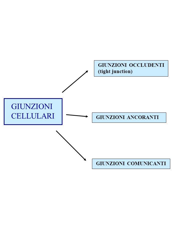 GIUNZIONI CELLULARI GIUNZIONI OCCLUDENTI (tight junction) GIUNZIONI ANCORANTI GIUNZIONI COMUNICANTI